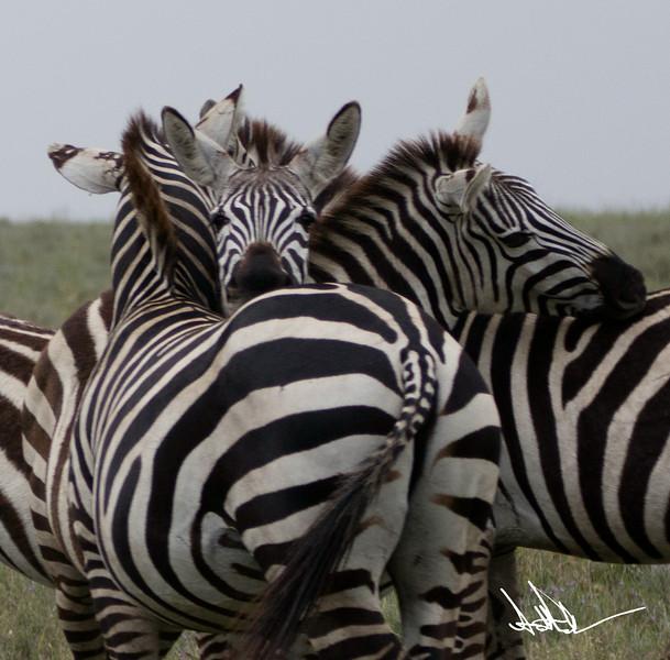 ZebraS-19.jpg