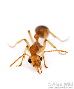 Australian Ants