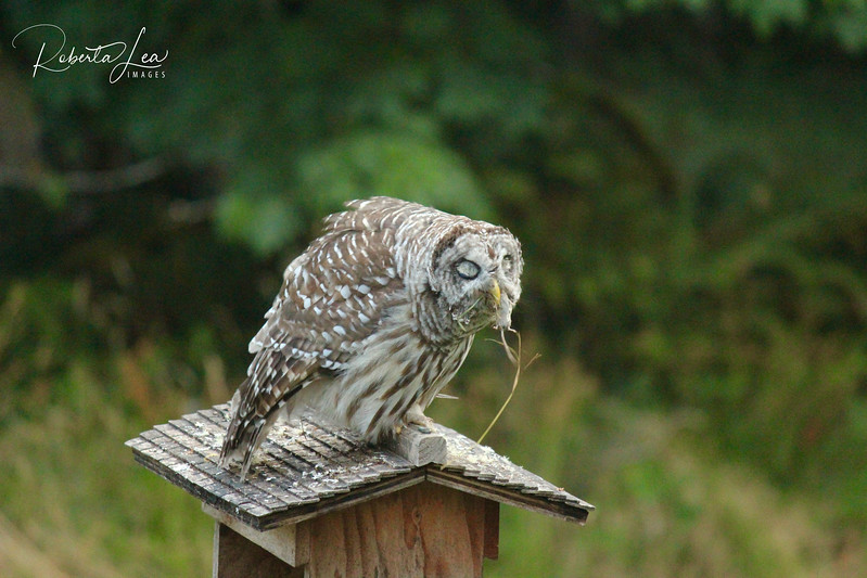 Barred Owl, Breakfast down the hatch