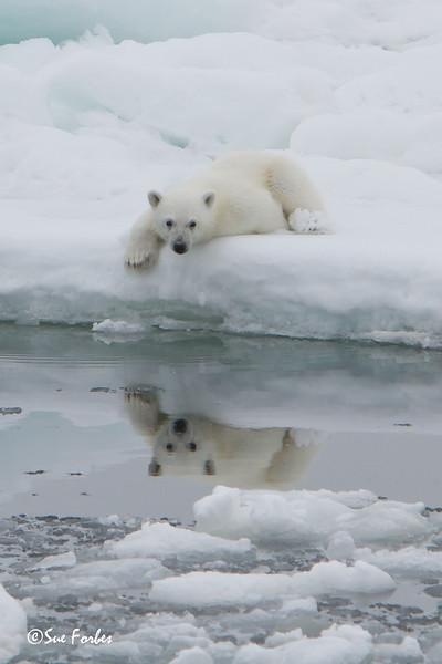 Polar Bear (ursus maritimus), cub on the pack ice, Olga Strait, Svalbard, Norway