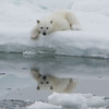 Polar Bear (ursus maritimus), cub on the pack ice, Olga Strait, Svalbard, Norway