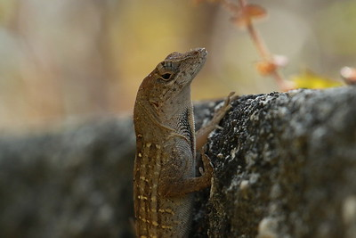 Brown Florida Anole