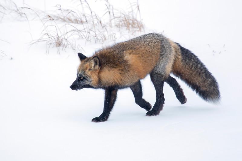L Arctic Fox.jpg