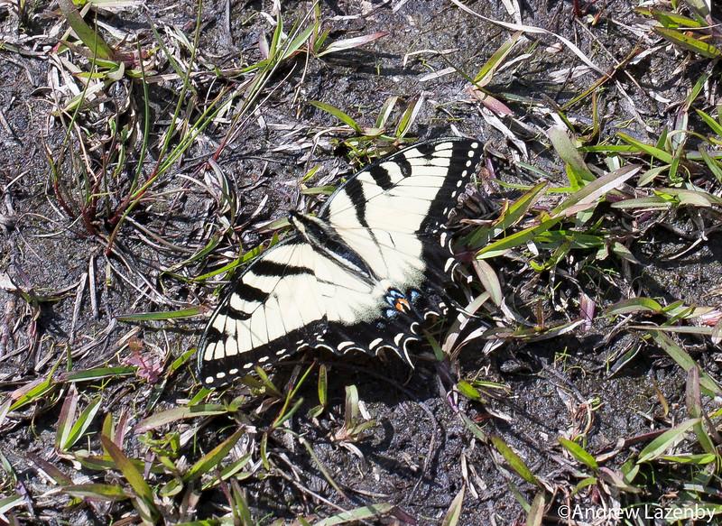 Male Tiger Swallowtail.jpg