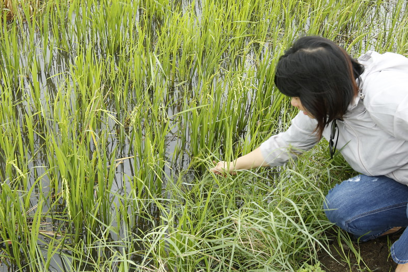 Different strains of rice are grown