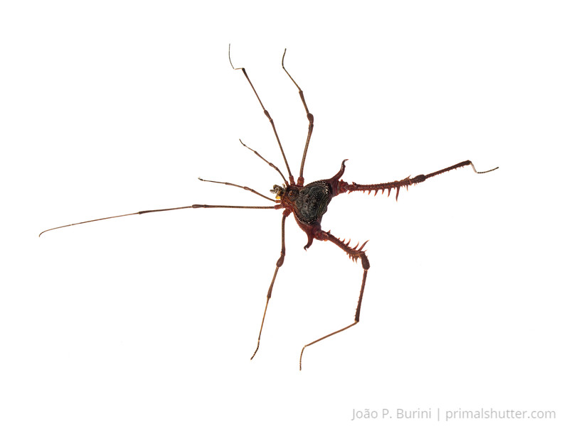 Armored harvestman (Acanthogonyleptes editus) Tapiraí, São Paulo, Brazil Atlantic forest (rainforest strictu sensu) November 2016