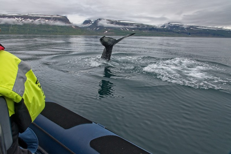 whale isafjordur 3 copy5.jpg