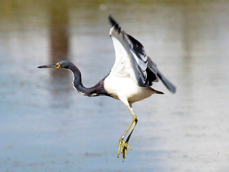 ..  and another Juvenile Little Blue Heron takes flight.