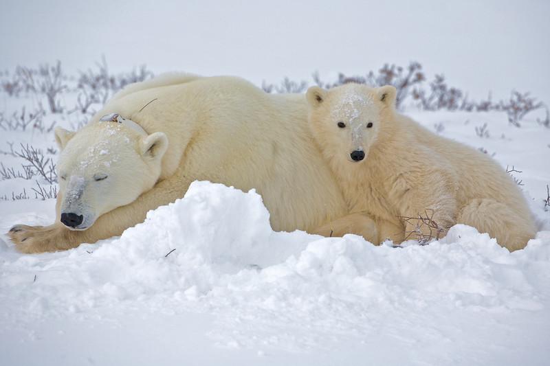 polar bear  5932.jpg