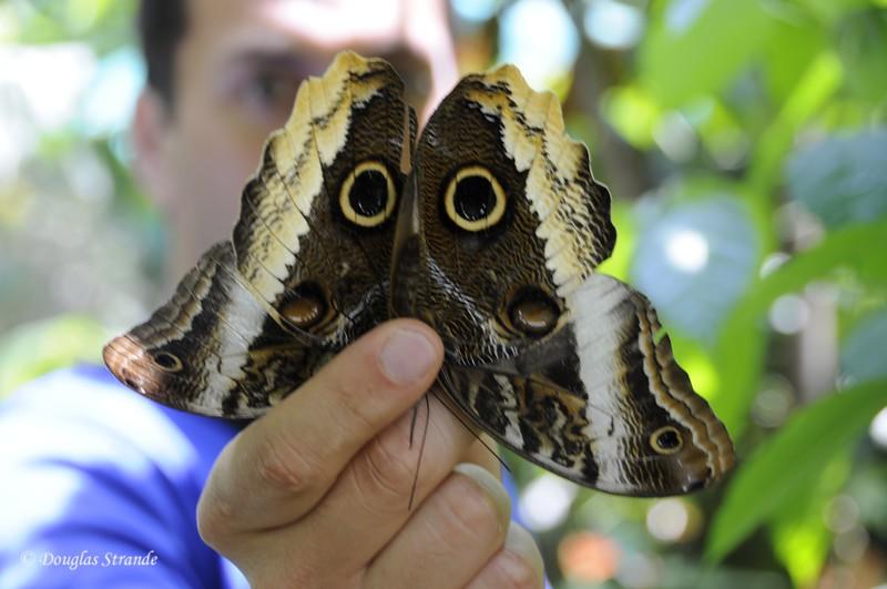 Sarapiqui: owl butterfly
