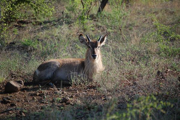 Kruger Waterbuck