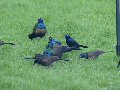 20170426 Common Grackle