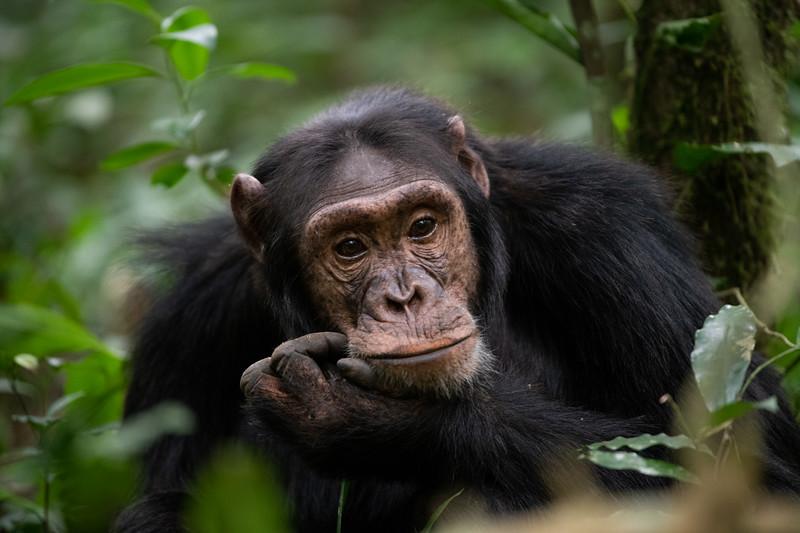 Uganda_T_Chimps-676.jpg