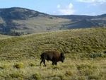 Buffalo in Lamar Valley.mpg