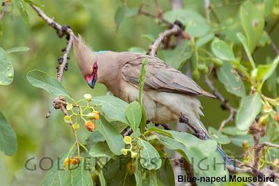 Blue-naped Mousebird, Kenya