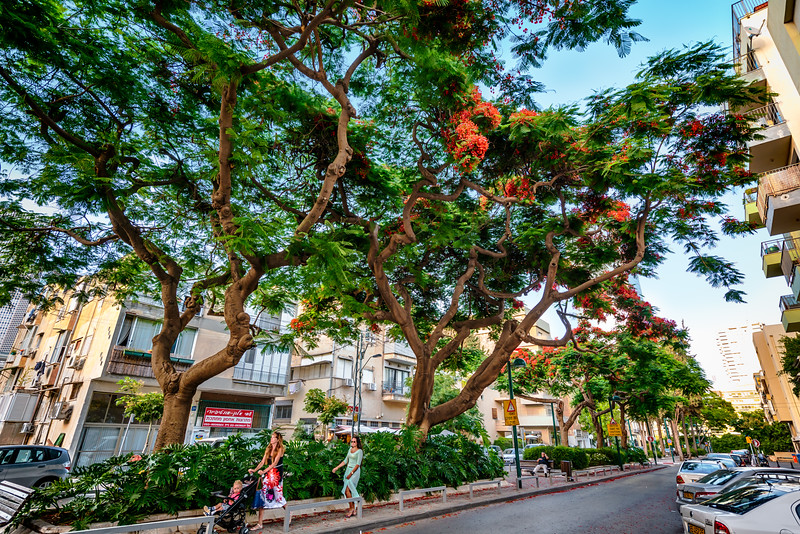 Delonix regia trees in Tel Aviv