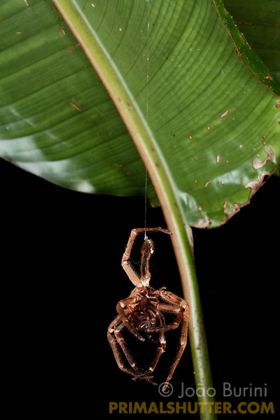 Wandering spider exoskeleton hanging under a leaf, in Intervales State Park, Brazil. South-east atlantic forest reserve, UNESCO World Heritage Site.