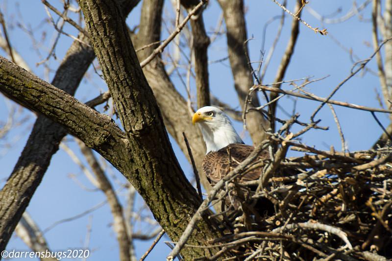 Bald Eagle, Haliaeetus leucocephalus (Accipitridae) from Iowa.