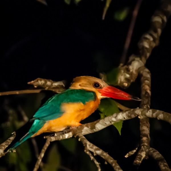 BIRDS - a stork billed kingfisher kingfisher -0566.jpg