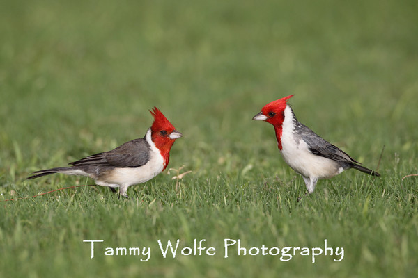 Cardinal, Red-Crested