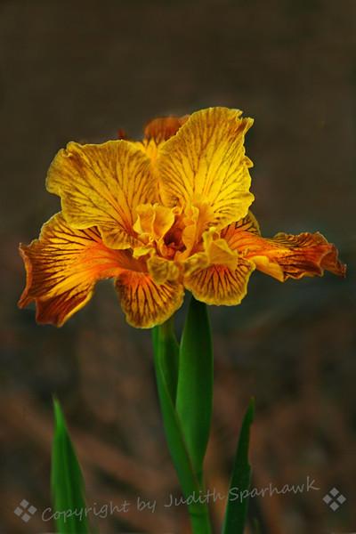 Yellow Wild Iris.jpg