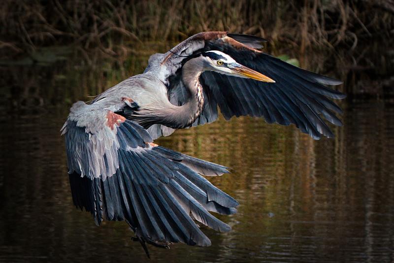 Everglades National Park, Florida, Great Blue Heron, Shark Valley