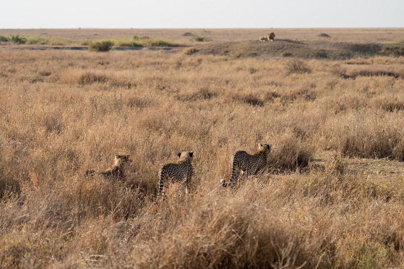 Cheetahs watching a lion