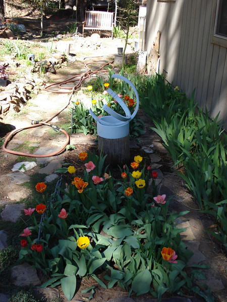 Tulips 05-16-08