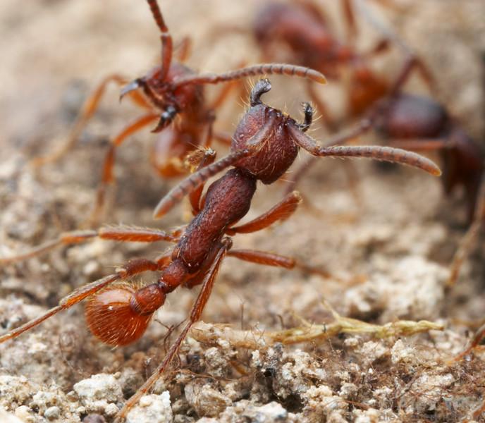 Neivamyrmex nigrescens  Huachuca Mountains, Arizona, USA