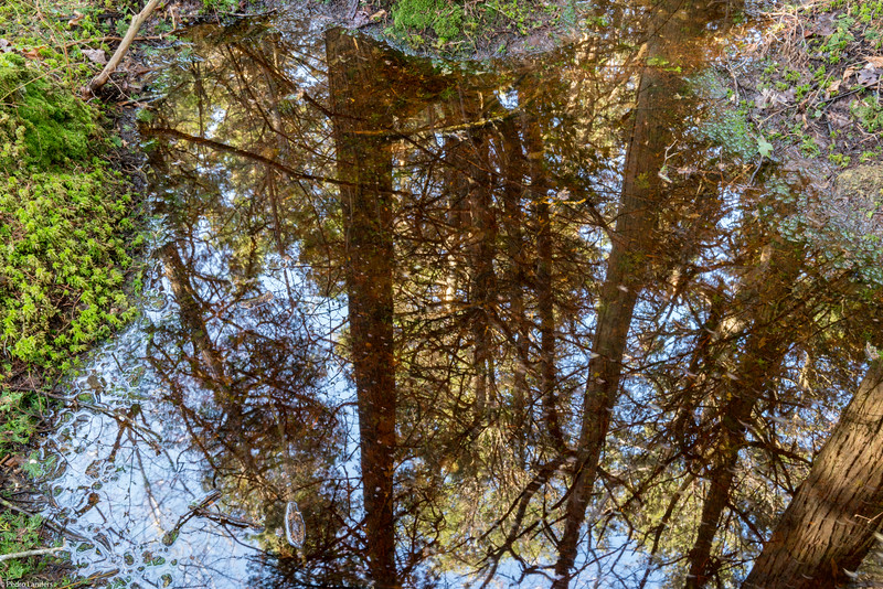 White Cedar Swamp Reflected
