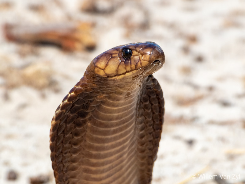 20200104 Cape Cobra (Naja nivea) from Durbanville, Western Cape