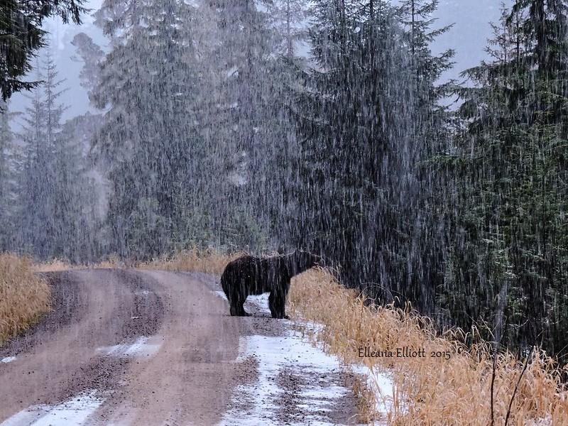 Black bear in sleeting rain (he needs to go into hibernation)