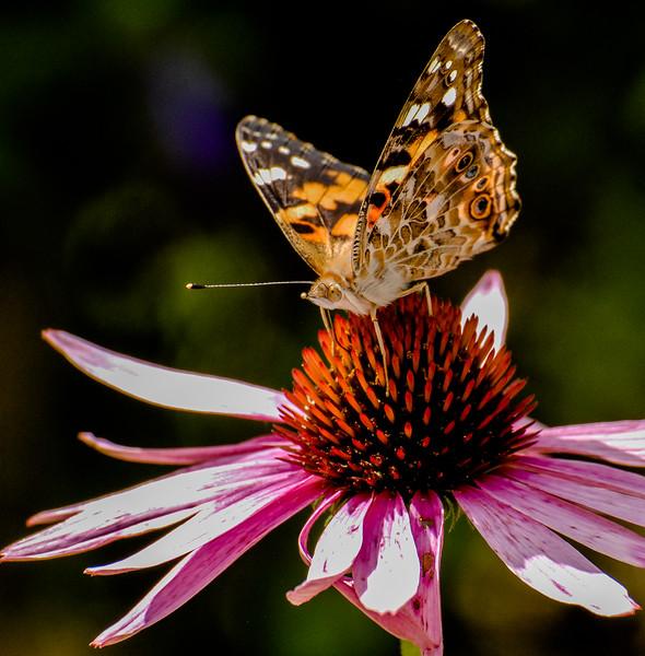 Cone Flower & Butterfly