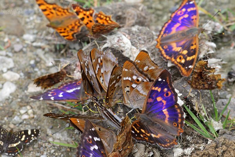 Motyle / Butterflies