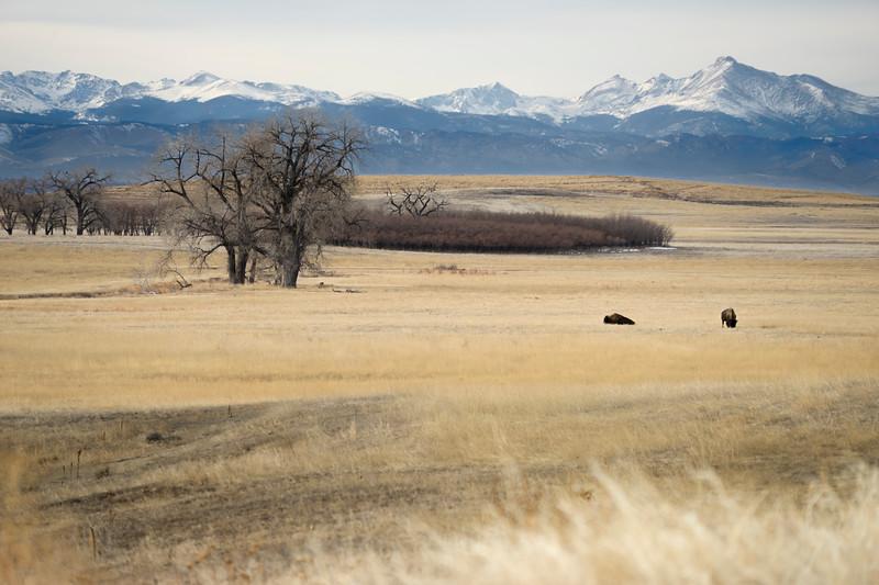 Bison - Wildlife Refuge - CO - December 2019_5753.jpg