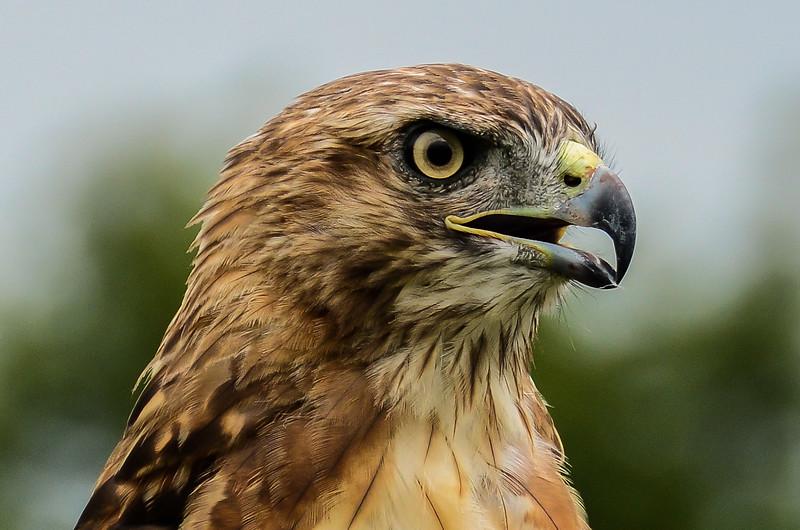 Red Tailed Hawk Portrait  II