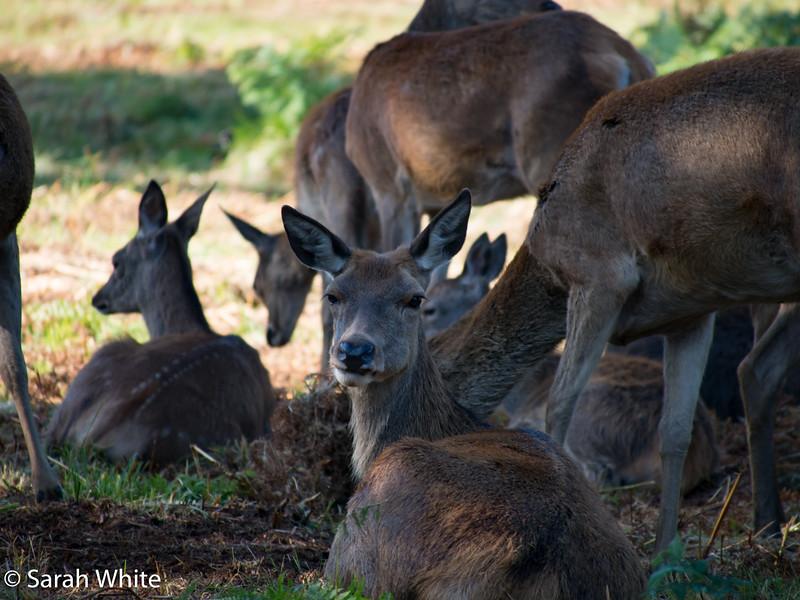 Deer rut_260915_608.jpg