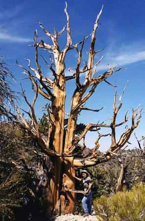 Ancient Bristlecone Pine Forest: Trips
