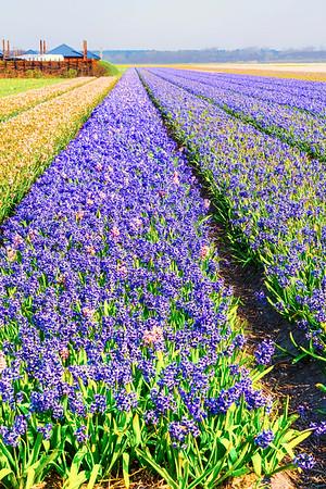 Hoorn Bulb Farm