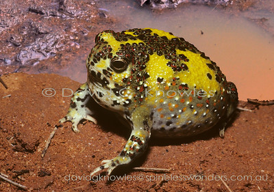 Australian Frogs Limnodynastidae (Australian Ground Frogs)