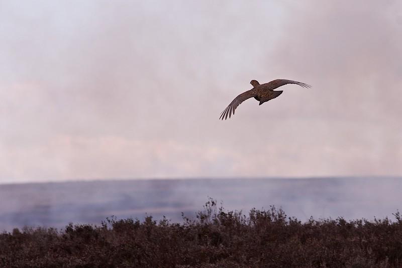 grouse skyline 1231.jpg