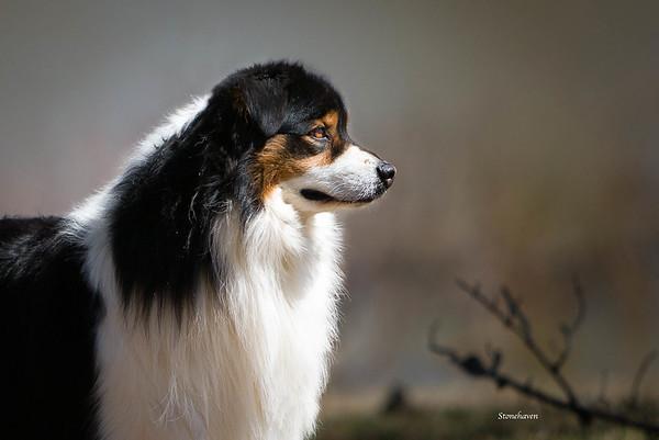 Riverwind Australian Shepherds