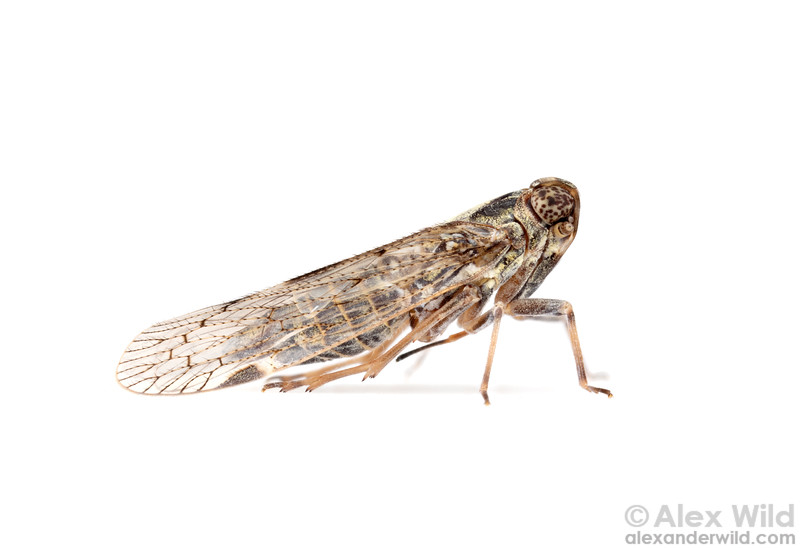 Melanoliarus