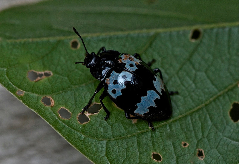 Pleasing Fungus Beetle (family Erotylidae)