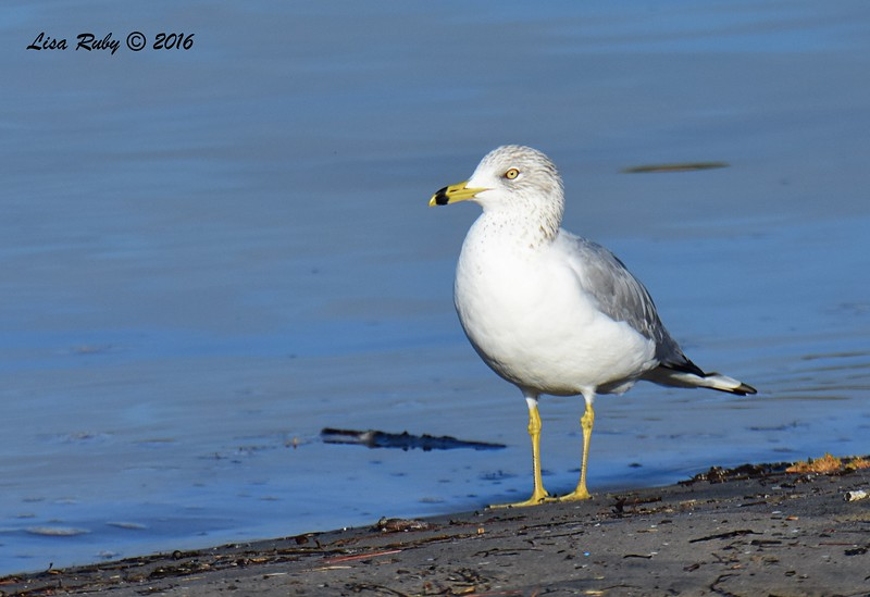Ring-billed Gull - 12/11/2016 - Mission Bay east