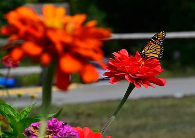 Butterflies - 091720