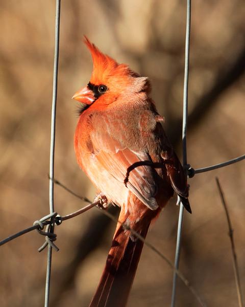 Northern Cardinal Fence Sitting