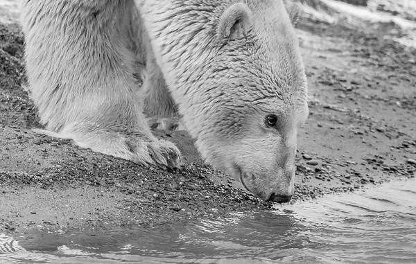 Polar Bears of Kaktovik, Barter Island Alaska B&W