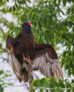 Turkey Buzzards