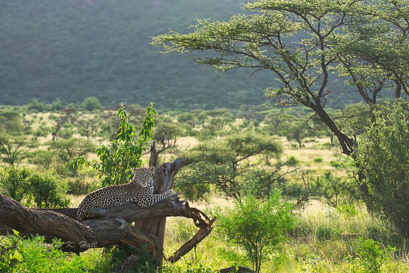 Leopard: Samburu 2013